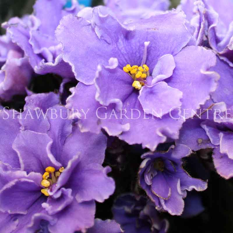 Picture of Saintpaulia African Violet