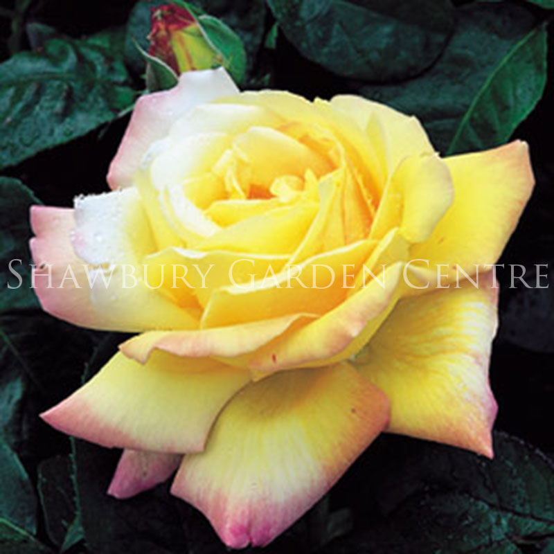 Picture of Peace Rose