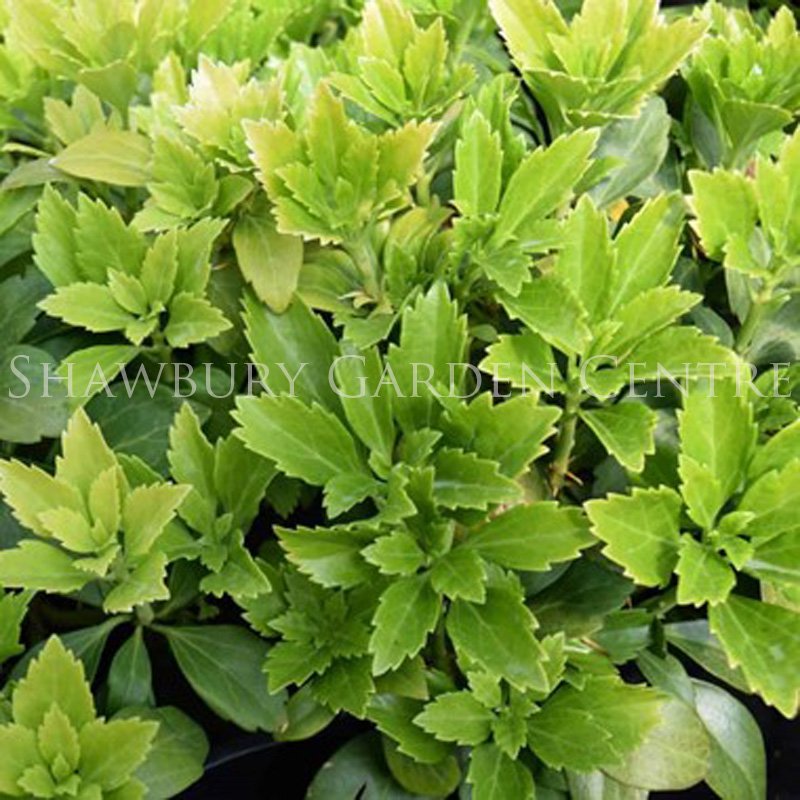 Picture of Pachysandra terminalis 'Japanese Spurge'