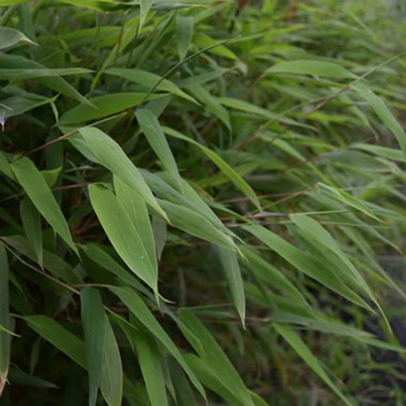 Picture of Fargesia nitida 'Great Wall' Bamboo