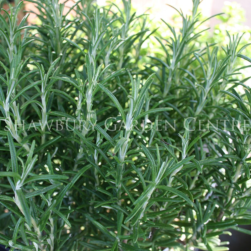 Picture of Rosmarinus officinalis 'Rosemary'