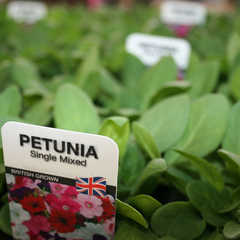 Picture of Petunia Summer Bedding