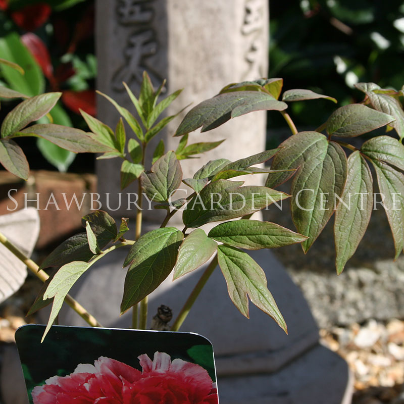 Picture of Paeonia suffruticosa Tree Peony
