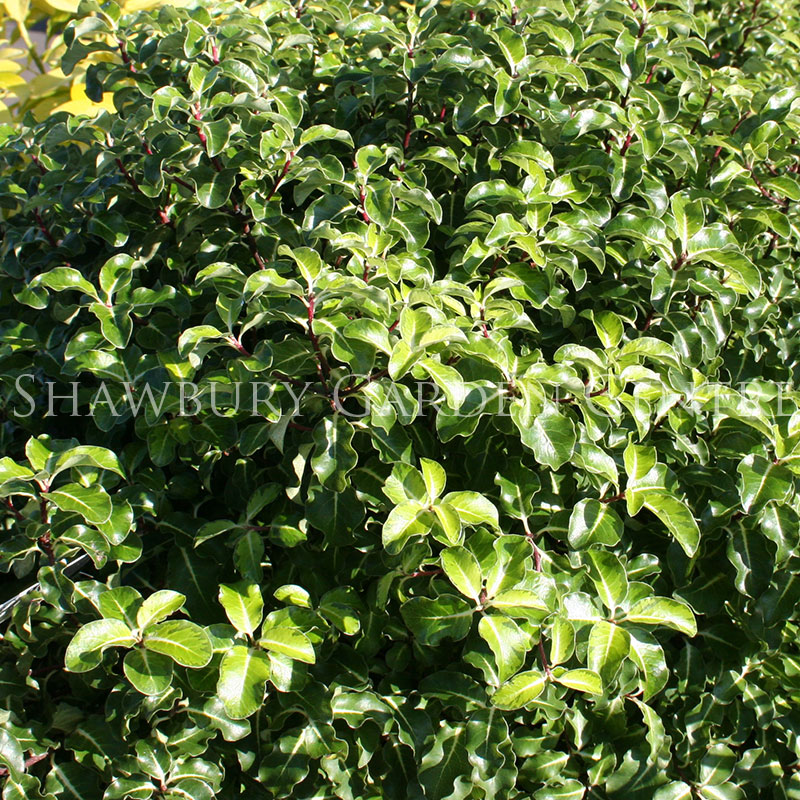 Picture of Pittosporum tenuifolium 'Gold Star'
