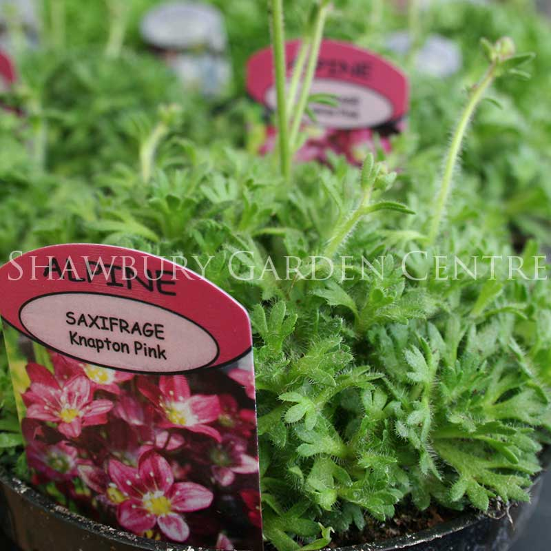 Picture of Saxifrage 'Knapton Pink'
