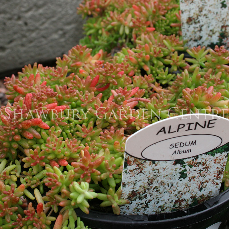 Picture of Sedum album