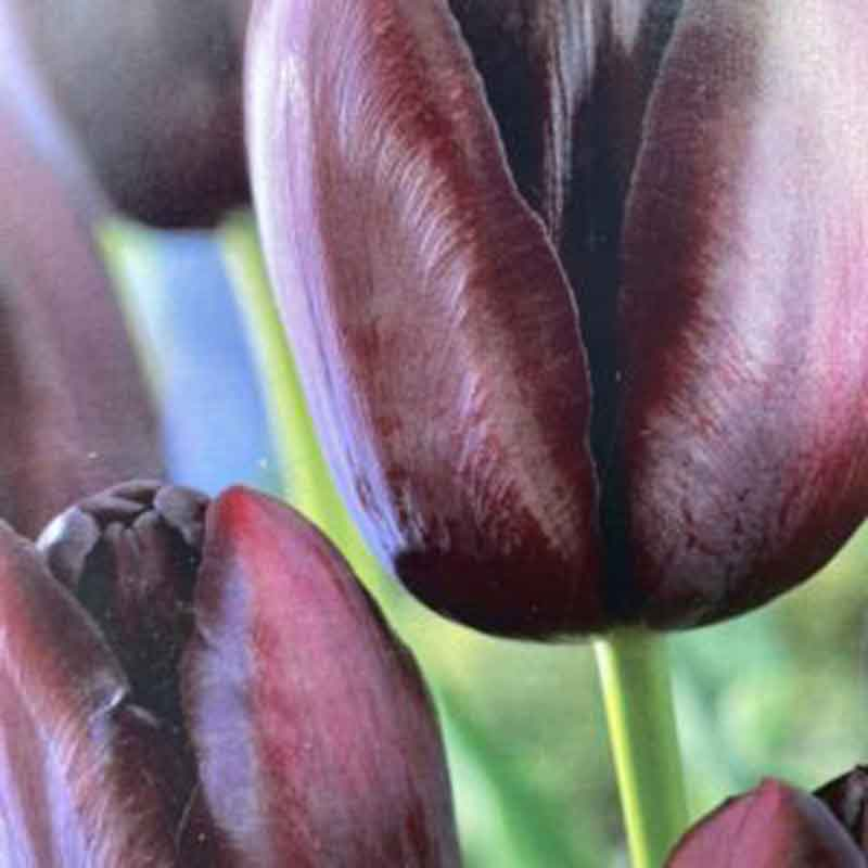 Picture of Tulip Queen of Night