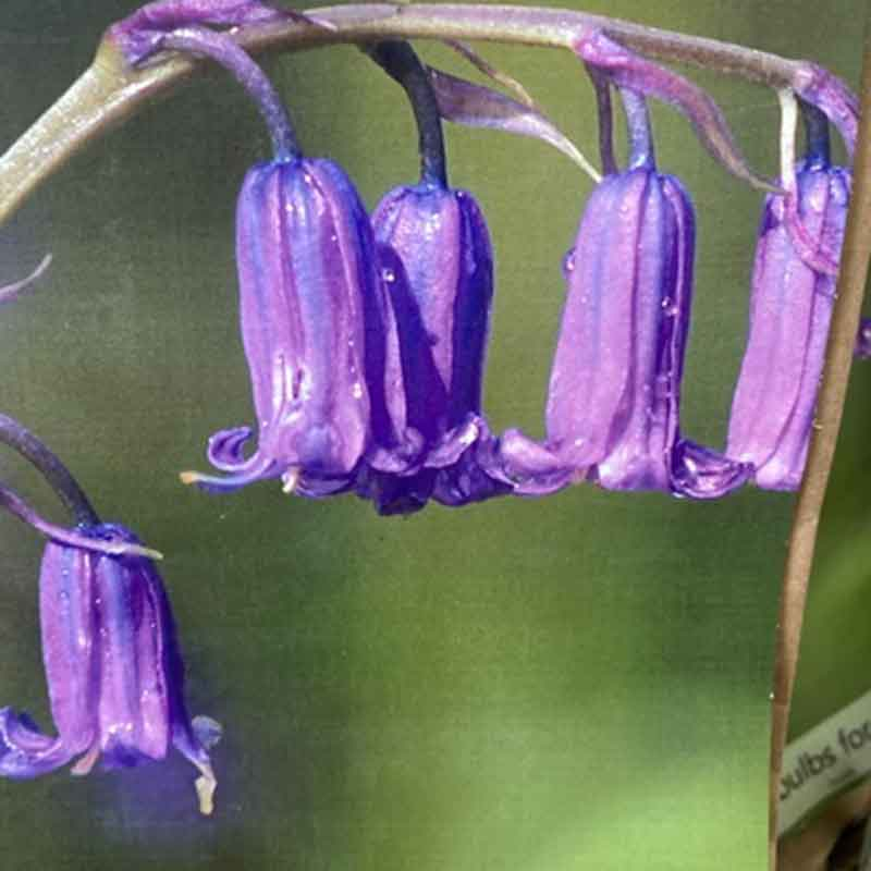 Picture of Endymion non scriptus English Bluebell Bulbs