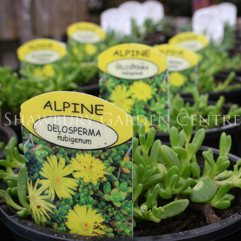 Picture of Alpines