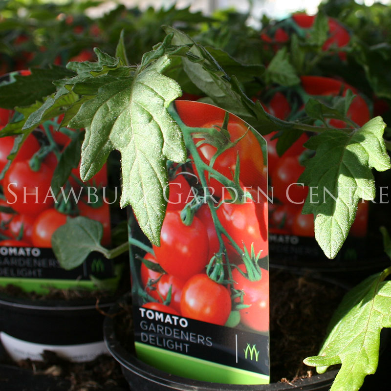 Picture of Tomato Plants