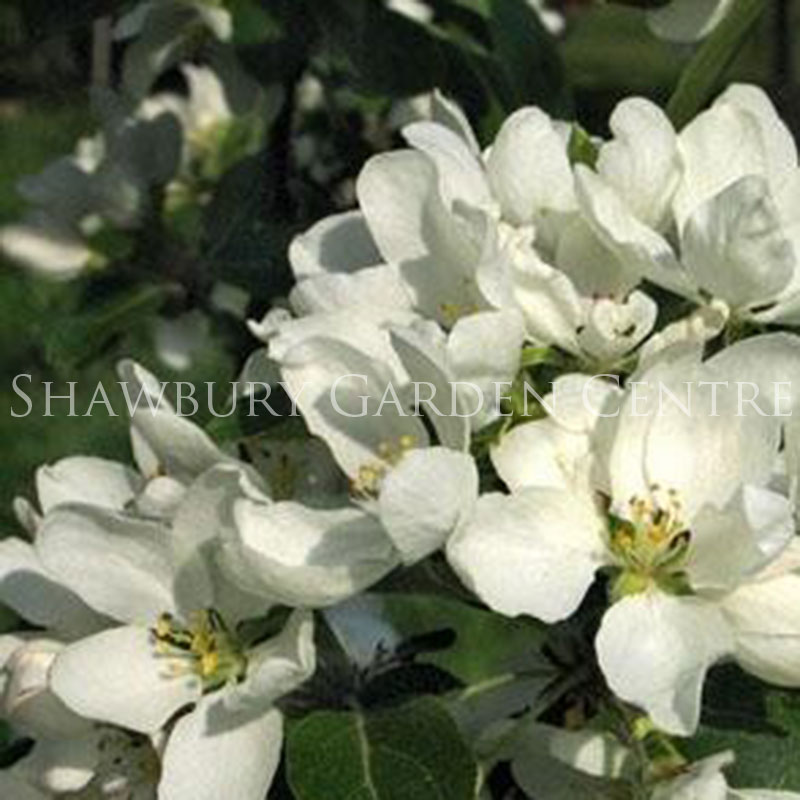Picture of Ornamental Trees