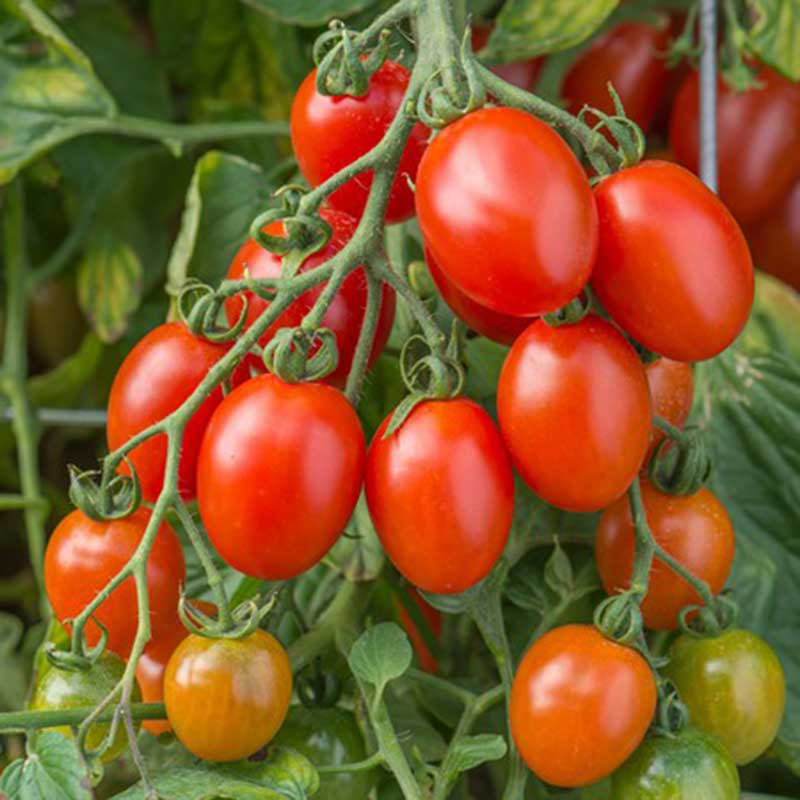 Picture of Tomato Seeds