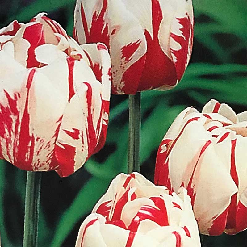 Picture of Spring Flowering Bulbs